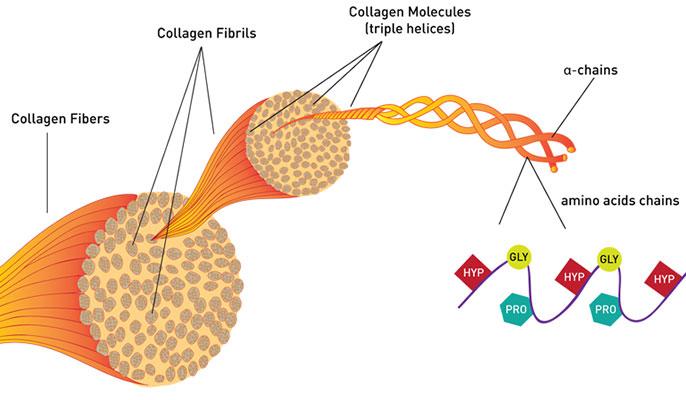 κολλαγόνο δομή